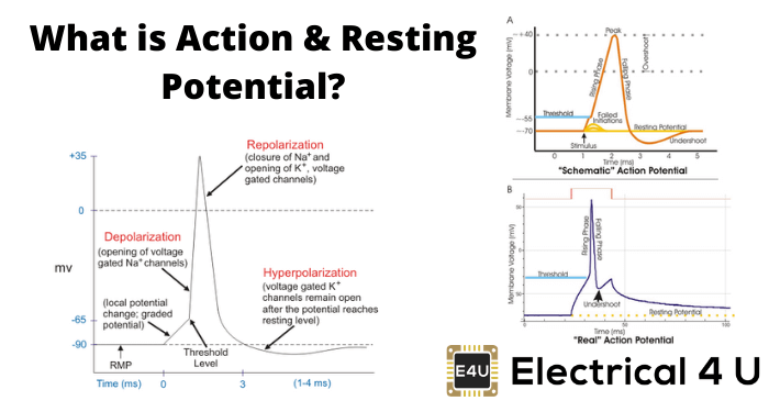 What Is Action Resting Potential